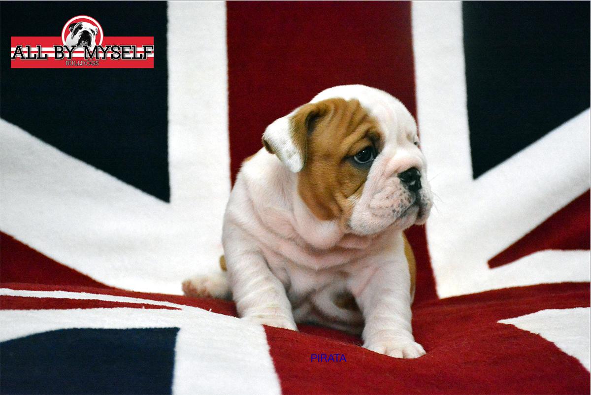 cuccioli bulldog inglese